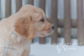 elevage-golden-retriever-the-field-of-angels_26445098785_o